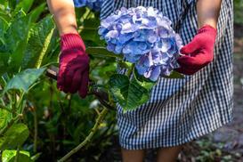 Przycinanie hortensji bukietowej na wiosnę bez tajemnic