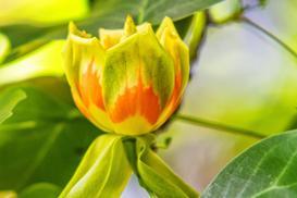 Tulipanowiec amerykański - uprawa, pielęgnacja, kwitnienie