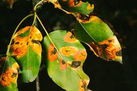 Choroby roślin - parch gruszy, objawy, zwalczanie, opryski