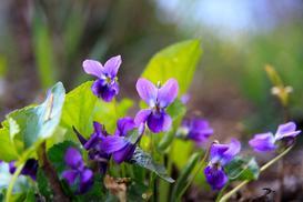 Fiołek w domu i ogrodzie - odmiany, uprawa, pielęgnacja, porady