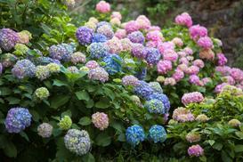 Wybieramy hortensję ogrodową – odmiany, sadzenie, uprawa, pielęgnacja
