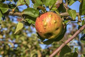 5 najczęstszych chorób jabłoni - rodzaje, objawy, zwalczanie