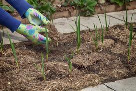 Jak rośnie czosnek? Sadzenie i uprawa czosnku krok po kroku