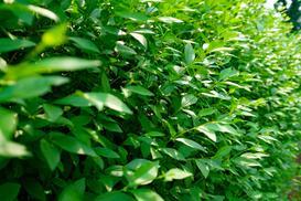 Żywopłot z ligustra pospolitego - sadzenie, pielęgnacja, przycinanie
