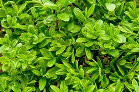 Ligustr zimozielony krok po kroku - sadzenie, uprawa, pielęgnacja, cięcie