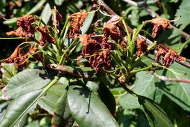 Najczęstsze choroby rododendronów i ich zwalczanie krok po kroku
