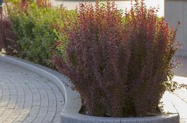 Berberys kolumnowy - odmiany, sadzenie, pielęgnacja, na żywopłot