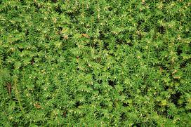 Żywopłot z cisu krok po kroku - odmiany, sadzenie, pielęgnacja, porady