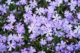 Floksy szydlaste (płomyk szydlasty) - uprawa, pielęgnacja, cięcie, rozmnażanie