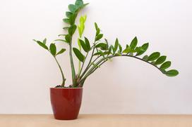 Żółte liście zamiokulkasa zamiolistnego - przyczyny i metody leczenia