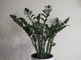 Zamiokulkas zamiolistny – wymagania kwiatu, pielęgnacja, uprawa, ceny
