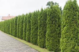 Tuja w ogrodzie – odmiany, sadzenie, pielęgnacja, ceny, porady