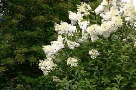 Pnąca hortensja w ogrodzie – stanowisko, wymagania, pielęgnacja