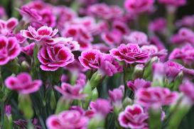 Goździki ogrodowe - ciekawe odmiany, wymagania, sadzenie, uprawa, pielęgnacja