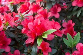 Azalia w ogrodzie – odmiany, wymagania, uprawa, pielęgnacja