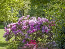 Jak i kiedy przesadzać rododendrony? Praktyczny poradnik krok po kroku