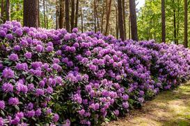 Różanecznik w ogrodzie - uprawa, pielęgnacja, wymagania, porady