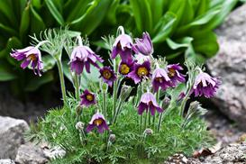 Sasanki krok po kroku – odmiany, uprawa w ogrodzie, pielęgnacja