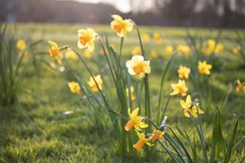 Żonkil w ogrodzie – uprawa popularnego narcyza, pielęgnacja, porady