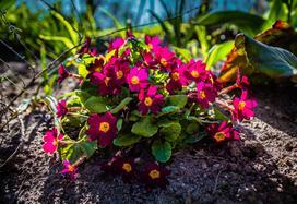 Prymulka w ogrodzie i doniczce - uprawa, pielęgnacja, podlewanie