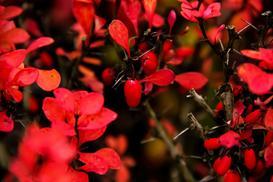 Berberysy czerwone Thunberga – odmiany, uprawa, pielęgnacja, porady