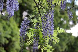 Glicynia chińska (wisteria) – odmiany, sadzenie, uprawa, wymagania