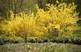 Forsycja w ogrodzie – sadzenie, uprawa, pielęgnacja, cięcie