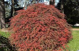 Berberysy pospolite, inaczej zwyczajne – sadzenie, uprawa, pielęgnacja, właściwości