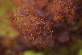 Perukowiec w ogrodzie – odmiany, wymagania, uprawa, pielęgnacja