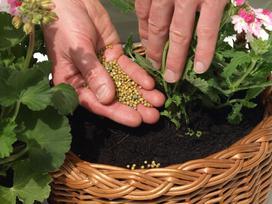 Przegląd nawozów do pelargonii - czym nawozić te kwiaty?