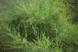 Krzew tamaryszku krok po kroku - odmiany, wymagania, kwitnienie, porady