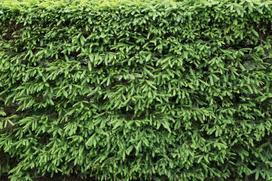 Żywopłot ze świerka serbskiego – odmiany, sadzenie, pielęgnacja, cięcie