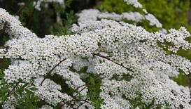 Krzew tawuła biała (Spiraea) - stanowisko, uprawa, pielęgnacja