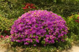 Azalia ogrodowa – odmiany, sadzenie, uprawa, pielęgnacja