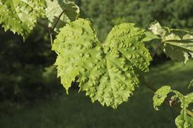 6 najczęściej spotykanych chorób winorośli i ich zwalczanie