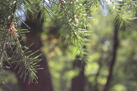 Osutka sosny - przyczyny, objawy, zwalczanie, polecane preparaty