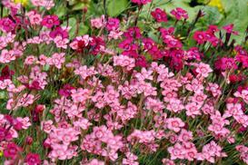 Goździk kropkowany w ogrodzie – odmiany, uprawa, przycinanie