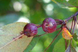 Choroby roślin - parch jabłoni - przyczyny, objawy, zwalczanie
