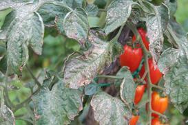 6 najczęściej spotykanych chorób pomidorów i ich zwalczanie
