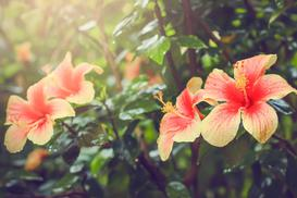 Uprawa hibiskusa ogrodowego krok po kroku – poradnik praktyczny
