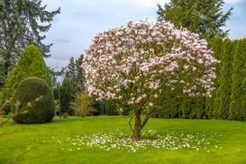 Magnolia w ogrodzie – uprawa i pielęgnacja pięknego drzewa