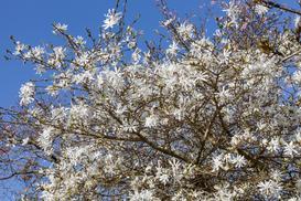Magnolia gwiaździsta bez tajemnic – odmiany, uprawa, pielęgnacja