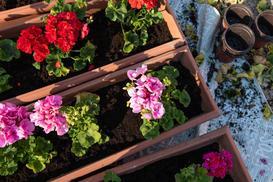 Wybieramy ziemię do pelargonii - skład, pH i inne rzeczy, na które warto zwrócić uwagę