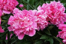 Piwonia w ogrodzie - uprawa, pielęgnacja, popularne odmiany, porady