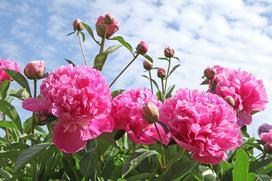 Kiedy kwitną piwonie? Sprawdź terminy kwitnienia różnych odmian