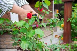 Kiedy i jak przycinać róże? Praktyczny poradnik podcinania różnych gatunków róż