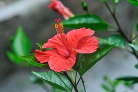 Chińska róża w domu - wymagania kwiatu, pielęgnacja, podlewanie