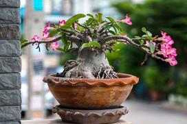 Adenium obesum (róża pustyni) - uprawa, pielęgnacja, wymagania, cena zakupu sadzonki