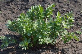 Lubczyk ogrodowy - działanie, właściwości, uprawa w domu i w ogrodzie