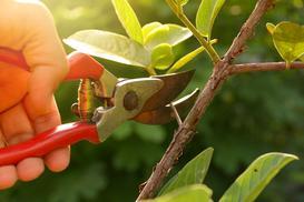 Przycinanie drzew owocowych krok po kroku - jak i kiedy przycinać drzewka?